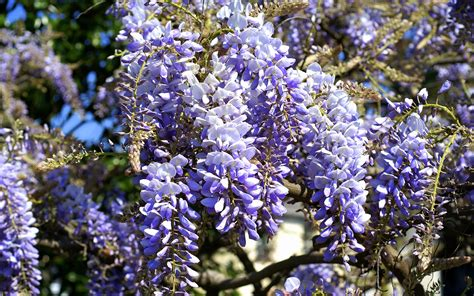 wisteria flower wisteria wallpaper