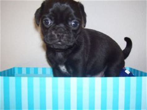 puggle puppies for sale mn pug puppies in minnesota