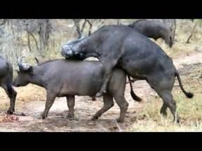 animal mating buffalo mating