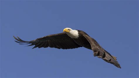 what is the national bird of the usa reference com