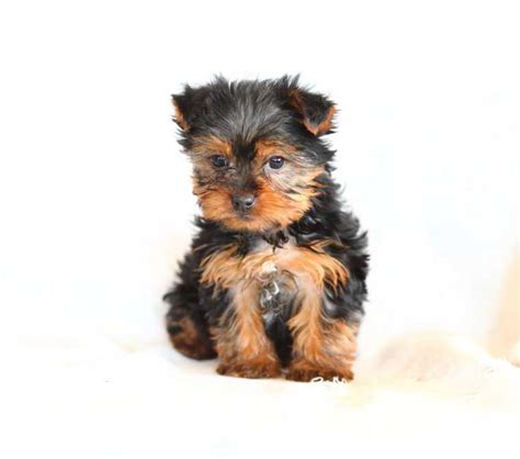 yorkies for sale in buffalo ny yorkie teacups for sale in breeds picture