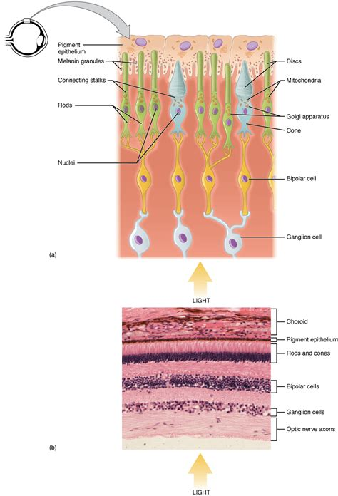rods in the retina are the receptors for color photoreceptor cell