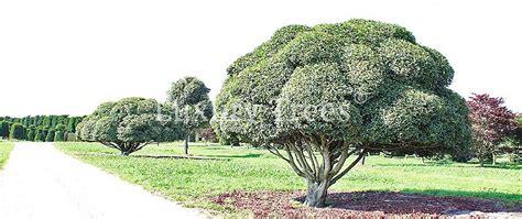 formgehoelze solitaerbaeume luxurytrees oesterreich