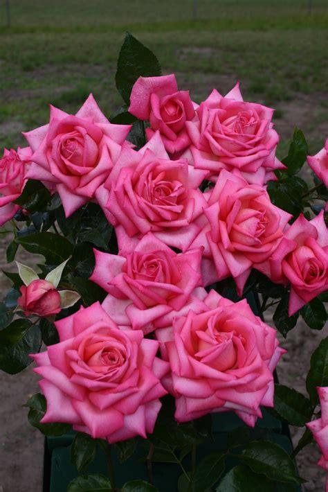 Wedding Bells Eleganza by La Collection Globe Planter Rosier Eleganza 174 Wedding