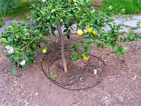 fruit tree watering system david frisk in my garden my new drip irrigation