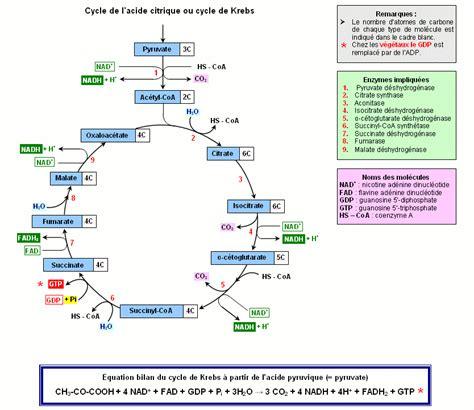 What Is L In Php by Mitochondrie Cycle De L Acide Citrique Ou Cycle De Krebs Banque De Sch 233 Svt Acad 233 Mie