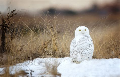 facts about snowy owls