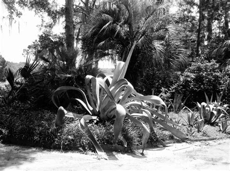 Agave Court Records Florida Memory Century Plant Agave Along Garden Walk At Killearn Garden Maclay