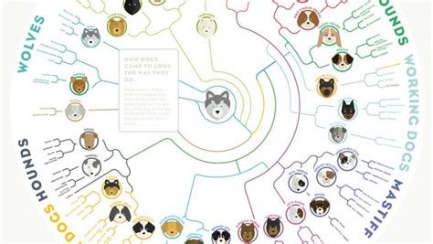 how did pugs originate a simple chart shows how dogs today evolved from a wolf gizmodo australia