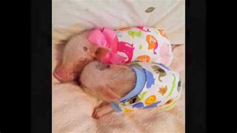 Baby Pigs In Clothes   www.pixshark.com   Images Galleries