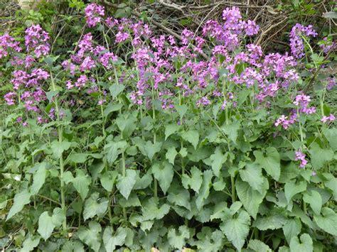 Bibit Benih Seeds Lunaria Biennis Money Plant Unique money plant silver dollar honesty lunaria biennis annua 50 seeds