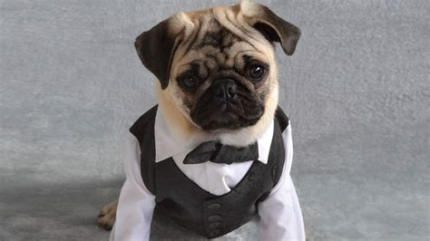 pug tuxedo faces prison after using company money to buy pug a tux ladders