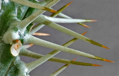 file cactus spines aka jpg wikimedia commons