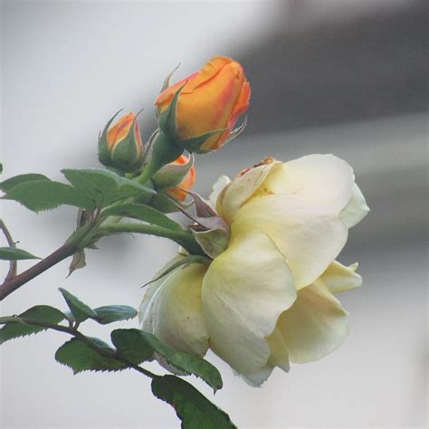 orange and white l orange and white roses photograph by l m reid