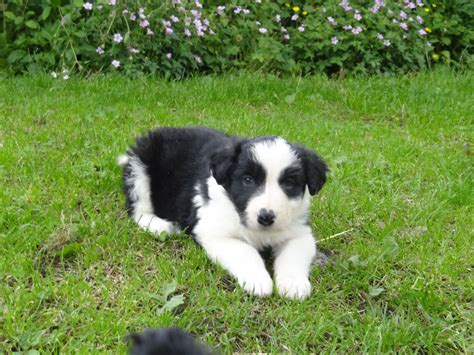 collie for sale border collie pup for sale high peak derbyshire pets4homes