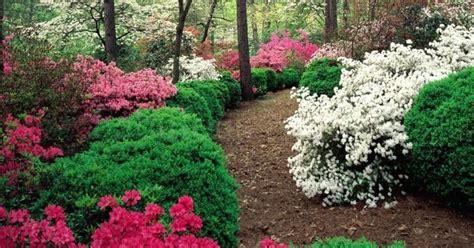 cura delle azalee in vaso azalea coltivazione piante da giardino consigli per
