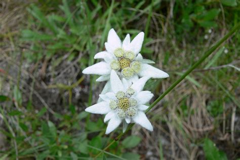 edelweiss bloem oostenrijk free photo edelweiss mountain flowers free image on