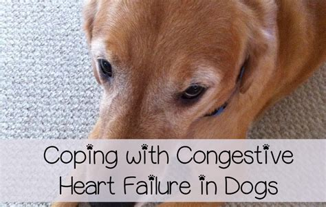 symptoms of congestive failure in dogs congestive failure in dogs care and coping dogvills