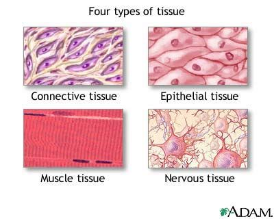 tissue diagram anatomy and physiology tissues nursing crib