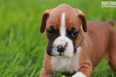 boxer puppies for sale in utah alabama boxer puppy for sale near salt lake city utah e5737612 8b31