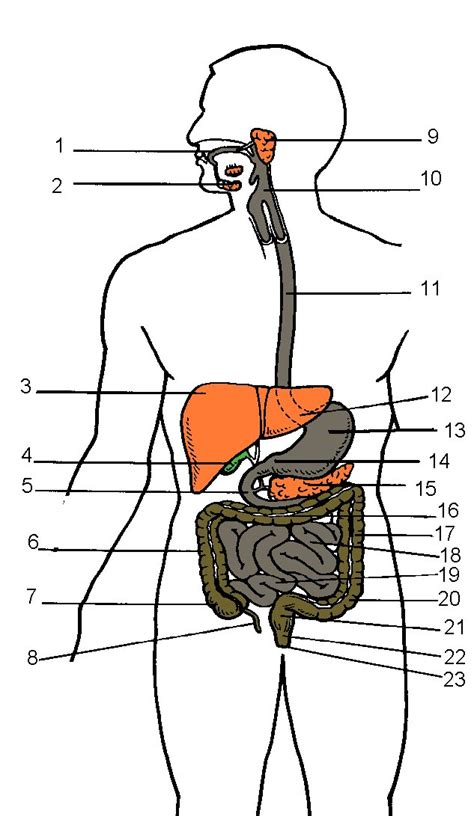 blank digestive system diagram 6 best images of rat digestive system diagram quiz rat
