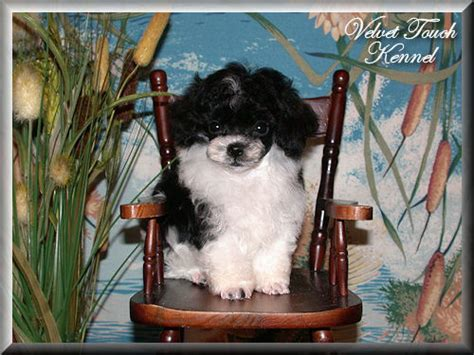 teacup yorkie for sale in ta teacup poodle puppy for sale
