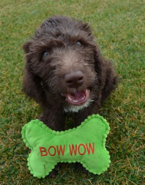 goldendoodle puppies for sale washington state labradoodle puppies for sale aussiedoodle and labradoodle