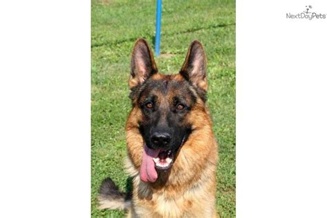 sander haus puppies for sale from sander haus german shepherd dogs