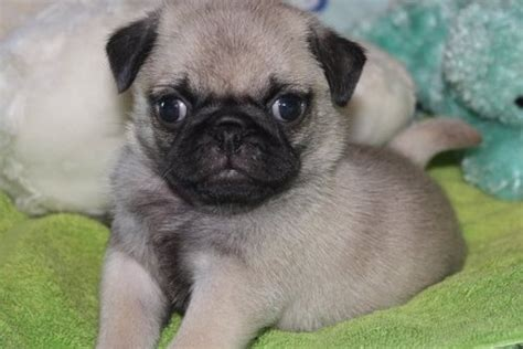 newborn pug puppies for sale teacup two baby 12 weeks and pug puppies for sale pets for sale in