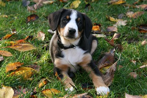 haired bernese mountain bernese mountain puppies