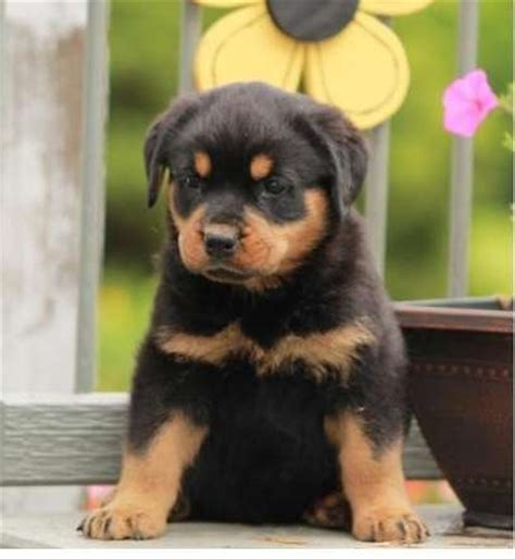 rottweiler puppies for sale canberra germany chion rottweiler puppies for sale adoption from tasmania australian capital