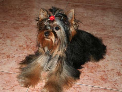 yorkie website terrier web cachorros