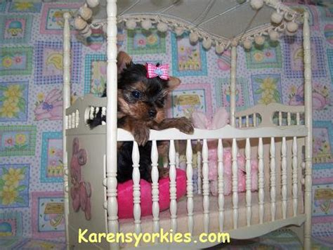 tennessee yorkie breeders terrier breeders tennessee dogs our friends photo