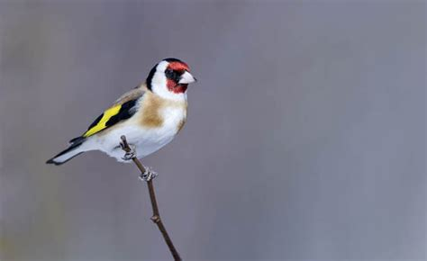 help to solve the mystery of what goldfinches have for