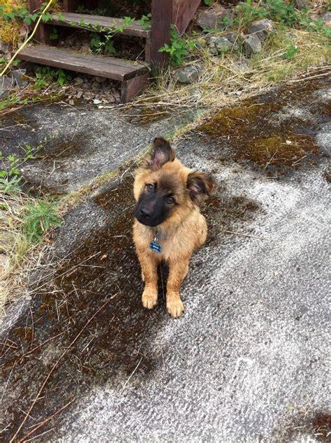 adopt pug puppy best 20 adopt a pug ideas on adopt a puppy