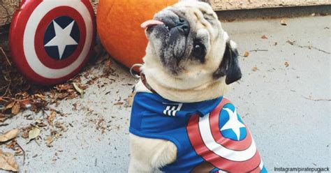 captain america pug this one eyed pug hams it up like a pirate the animal rescue site