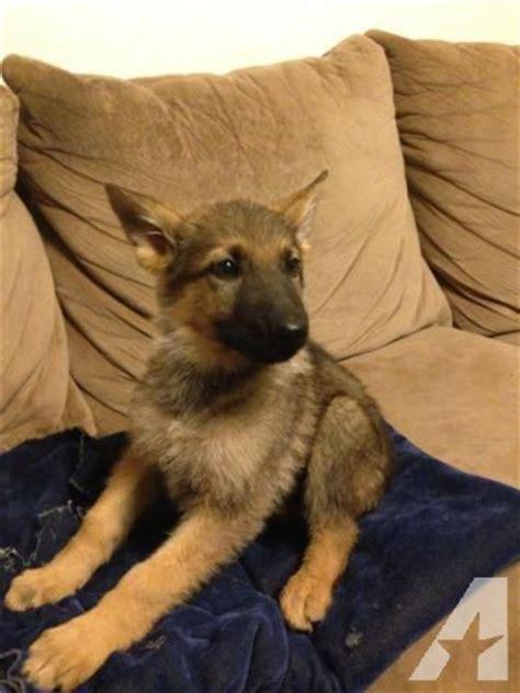 9 week german shepherd puppy akc german shepherd puppies 9 weeks for sale in phelan california classified