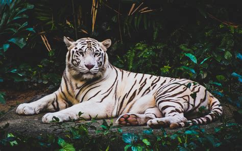wallpaper 4k tiger white tiger hd 4k wallpapers hd wallpapers id 21221