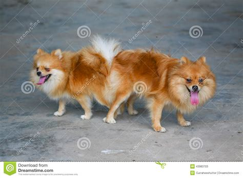 pomeranian mating and pomeranian mating mating of pet stock photo image 43983703