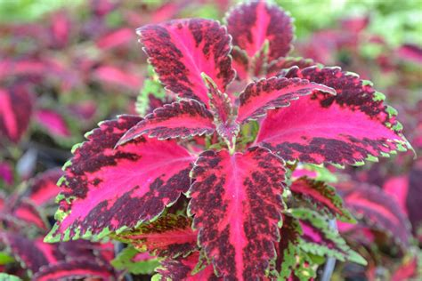 coleus carnival ymker greenhouse and landscaping