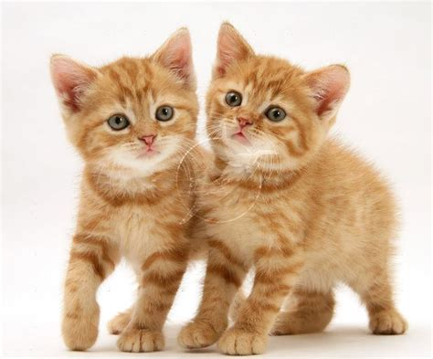 google images kittens baby ginger kitten google search we heart it cats