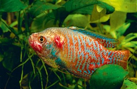 Tb Fish should you be worried about fish tb practical