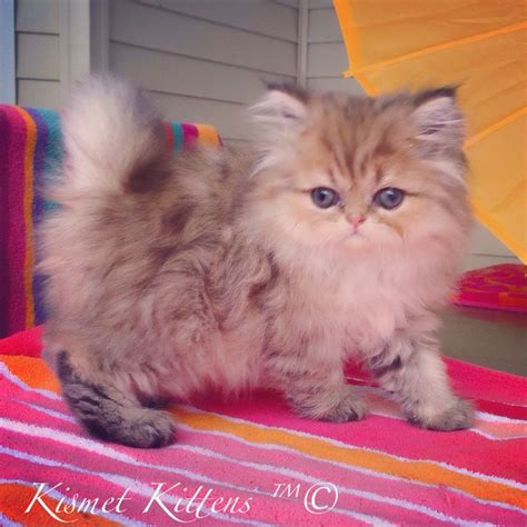 persian cats in orlando my persian kittens persian kismet kittens for golden chinchilla shaded doll face