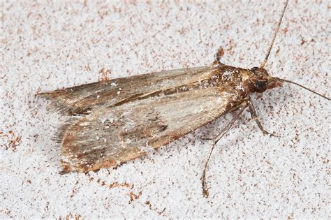 Moths In Pantry by How To Manage Your Meal Moth Infestation So They Don T