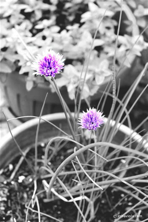 erba cipollina in vaso piccoli fiori semi liberi e libera pentola
