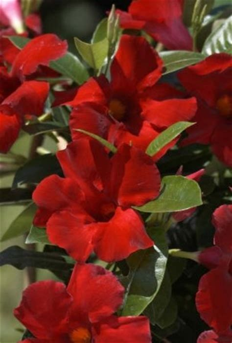 tropical climbing plant tropical vines perennial with flowers climbing