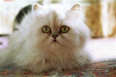 gatti persiani chinchilla persiano chinchilla petpassion