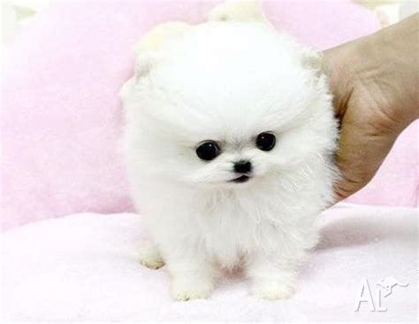 pomeranian puppies for sale sydney pomeranian puppies for adoption to a home australia breeds picture