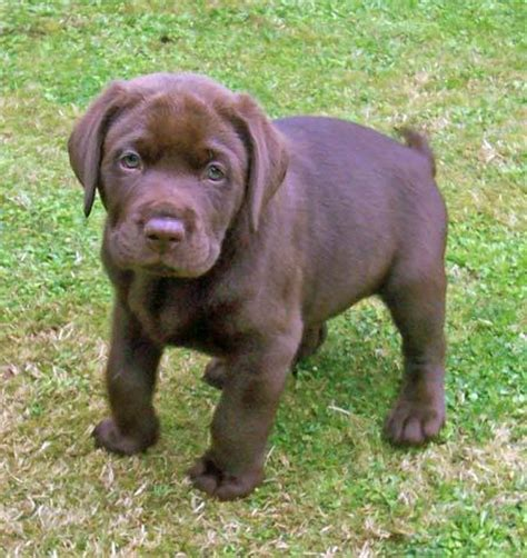 chocolate labrador puppy olly the chocolate labrador puppies daily puppy