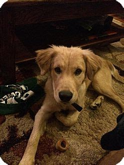 golden retriever rescue of colorado erie co golden retriever mix meet a puppy for